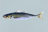 Buy Jack Mackerel